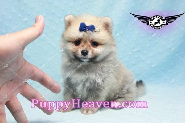 King Of Hearts - Teacup Pomeranian Puppy -10027