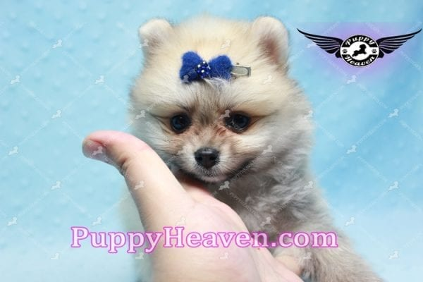 King Of Hearts - Teacup Pomeranian Puppy -10030