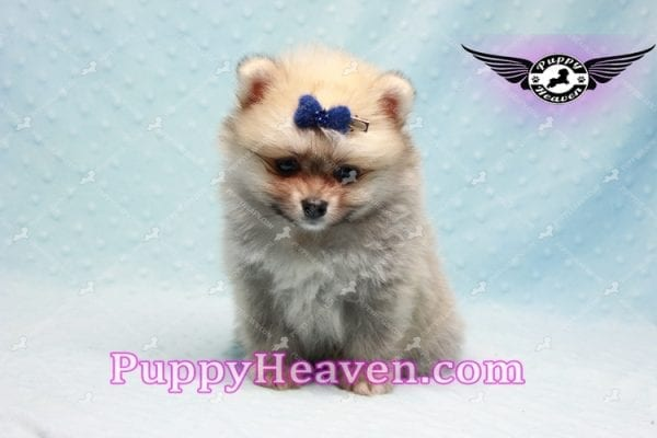 King Of Hearts - Teacup Pomeranian Puppy -10024