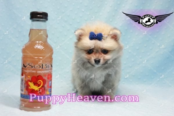 King Of Hearts - Teacup Pomeranian Puppy -10023