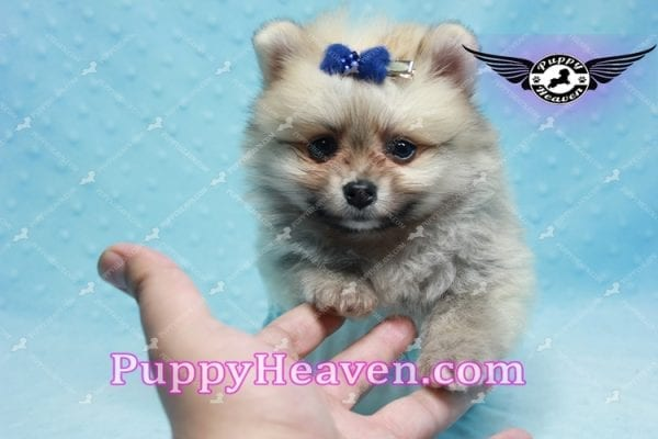 King Of Hearts - Teacup Pomeranian Puppy -10021