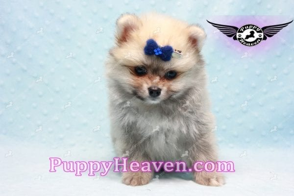 King Of Hearts - Teacup Pomeranian Puppy -10028