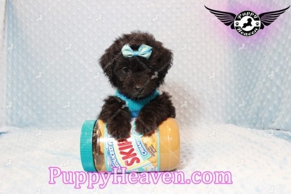 Kobe Bryant - Toy Maltipoo Puppy has found a good loving home with BARBARA FROM LAKEWOOD, CO 80214-0