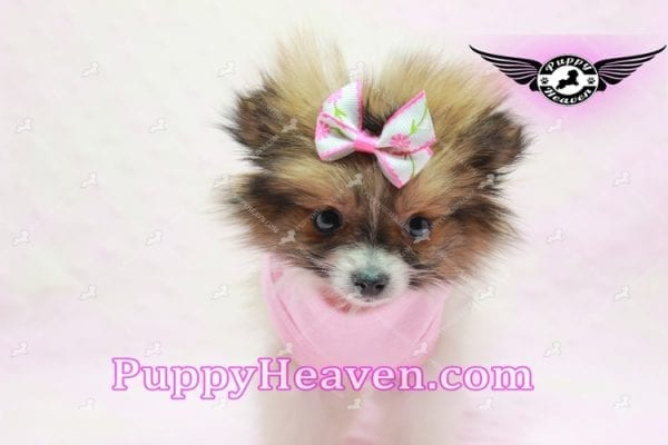 Lady Dee - Micro Pomeranian Puppy Found Her Loving Home with Dr. Hensley From LA 90010-9878
