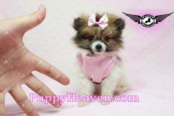 Lady Dee - Micro Pomeranian Puppy Found Her Loving Home with Dr. Hensley From LA 90010-9879