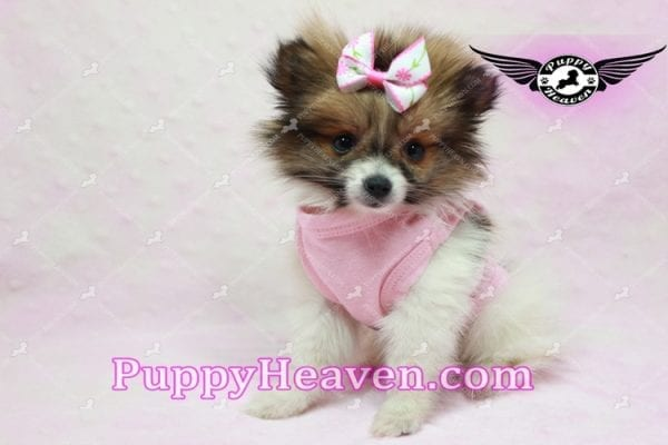 Lady Dee - Micro Pomeranian Puppy Found Her Loving Home with Dr. Hensley From LA 90010-9887