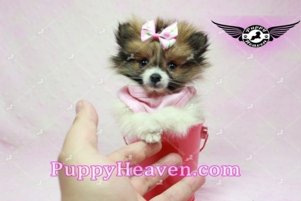 Lady Dee - Micro Pomeranian Puppy Found Her Loving Home with Dr. Hensley From LA 90010-9884