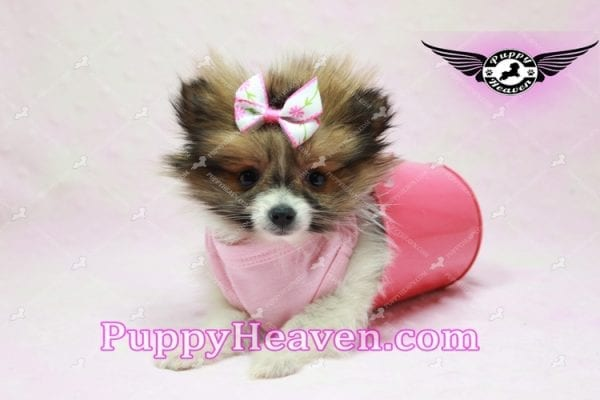 Lady Dee - Micro Pomeranian Puppy Found Her Loving Home with Dr. Hensley From LA 90010-9880
