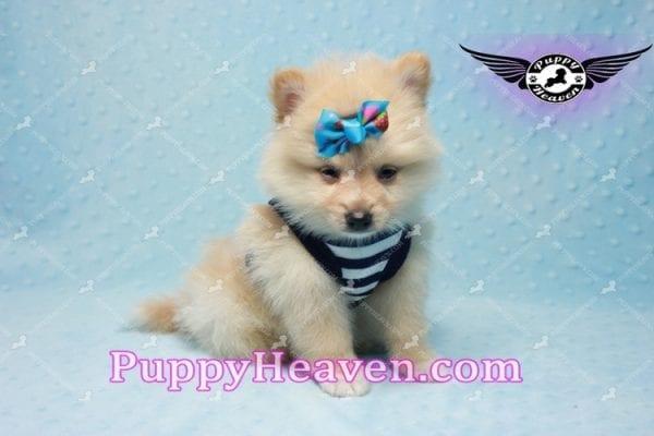 Lion King -Teacup Pomeranian Puppy -0