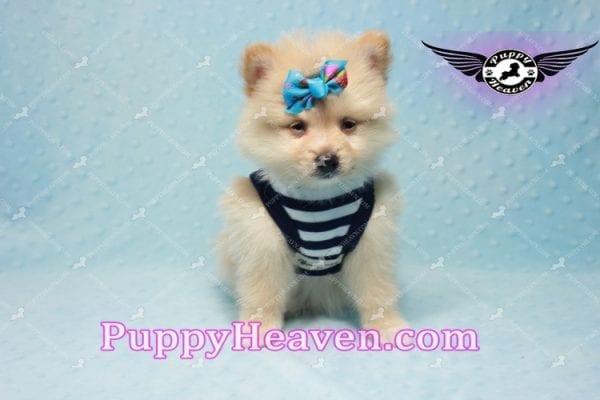 Lion King -Teacup Pomeranian Puppy -10042