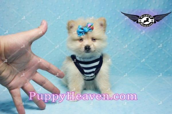 Lion King -Teacup Pomeranian Puppy -10040