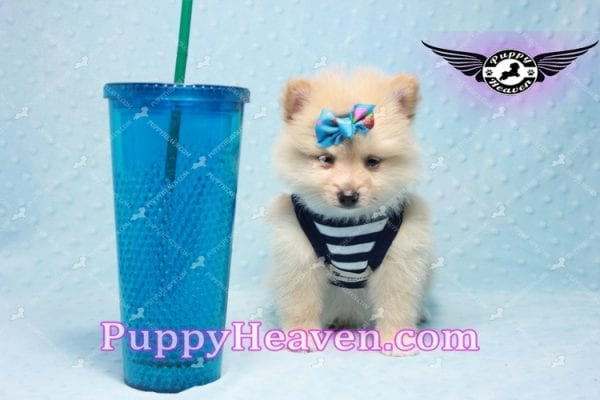 Lion King -Teacup Pomeranian Puppy -10038