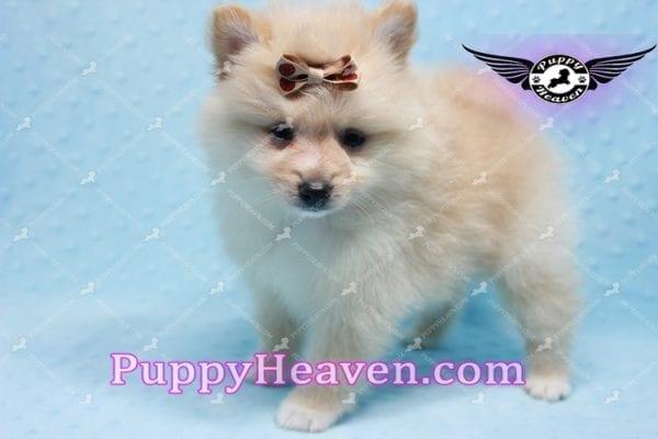 Lion King -Teacup Pomeranian Puppy -10037