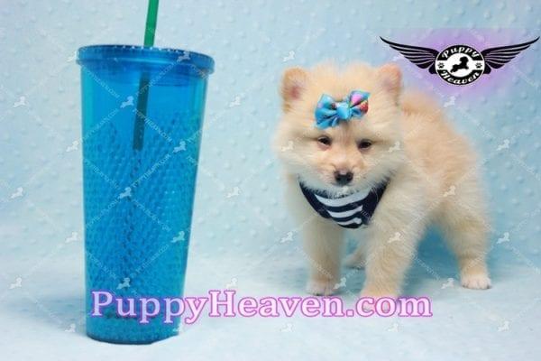 Lion King -Teacup Pomeranian Puppy -10041