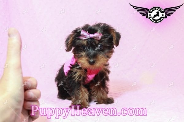 Lisa Simpson - Teacup Morkie Puppy has found a good loving home with Cynthia from Las Vegas, NV 89149-0