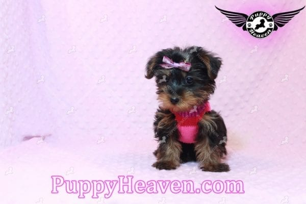 Lisa Simpson - Teacup Morkie Puppy has found a good loving home with Cynthia from Las Vegas, NV 89149-9649