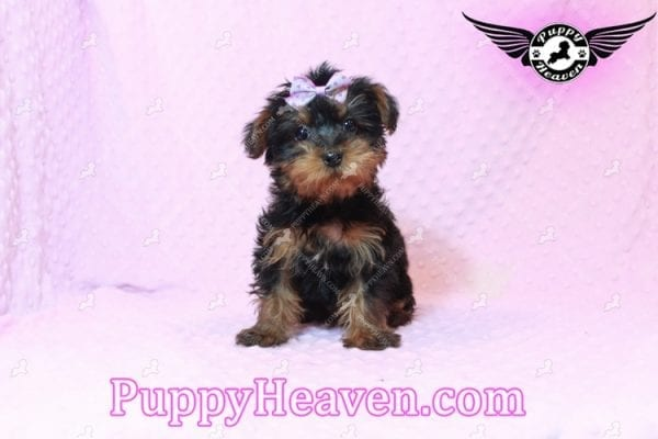 Lisa Simpson - Teacup Morkie Puppy has found a good loving home with Cynthia from Las Vegas, NV 89149-9644