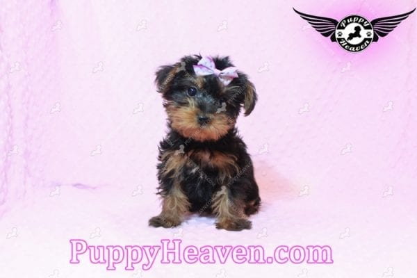 Lisa Simpson - Teacup Morkie Puppy has found a good loving home with Cynthia from Las Vegas, NV 89149-9648