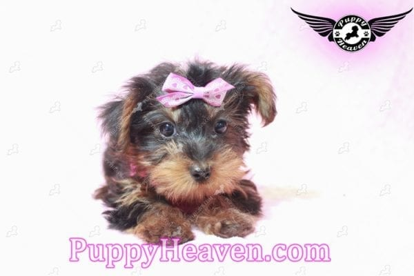 Lisa Simpson - Teacup Morkie Puppy has found a good loving home with Cynthia from Las Vegas, NV 89149-9646