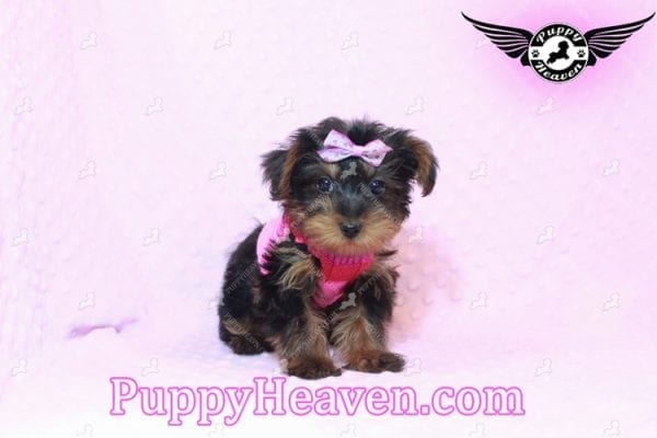 Lisa Simpson - Teacup Morkie Puppy has found a good loving home with Cynthia from Las Vegas, NV 89149-9650