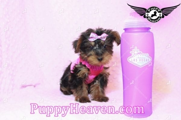 Lisa Simpson - Teacup Morkie Puppy has found a good loving home with Cynthia from Las Vegas, NV 89149-9647