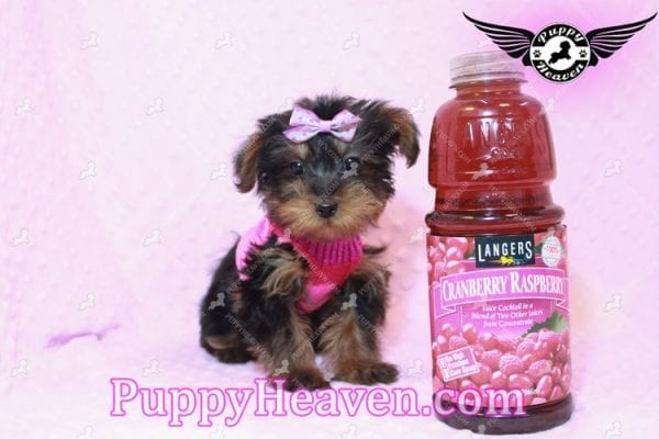 Lisa Simpson - Teacup Morkie Puppy has found a good loving home with Cynthia from Las Vegas, NV 89149-9651
