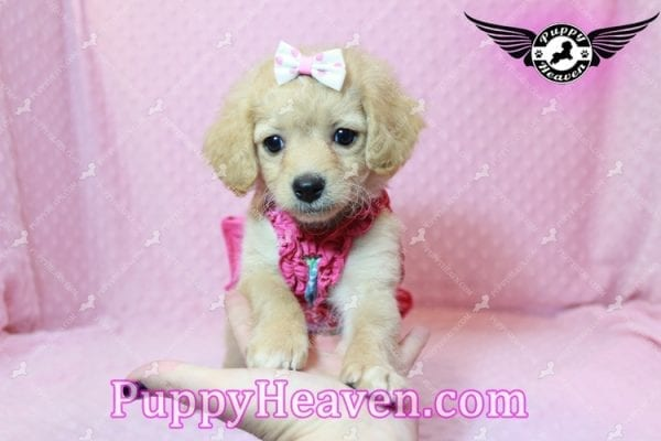 Love Of My Life - Toy Maltipoo Puppy has found a good loving home with Deborah from Blythe, CA 92225-9958