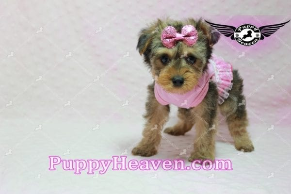 Lovely - Teacup Morkie Puppy -10137
