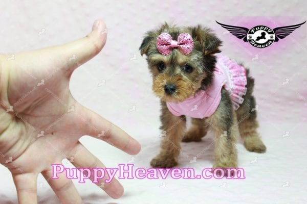 Lovely - Teacup Morkie Puppy -10133