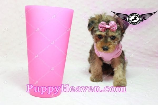 Lovely - Teacup Morkie Puppy -0