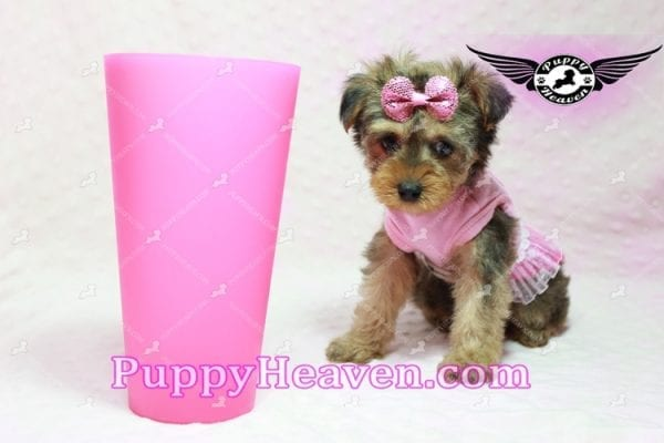 Lovely - Teacup Morkie Puppy -10135