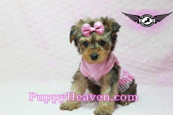 Lovely - Teacup Morkie Puppy -10136