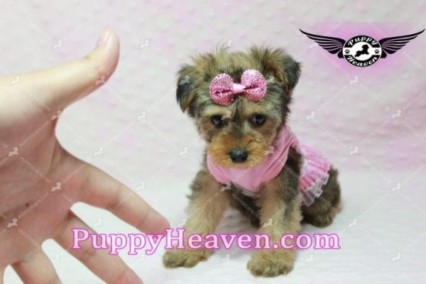 Lovely - Teacup Morkie Puppy -10134