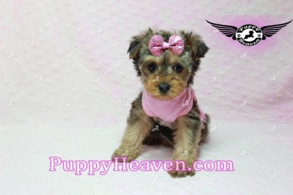 Lovely - Teacup Morkie Puppy -10130