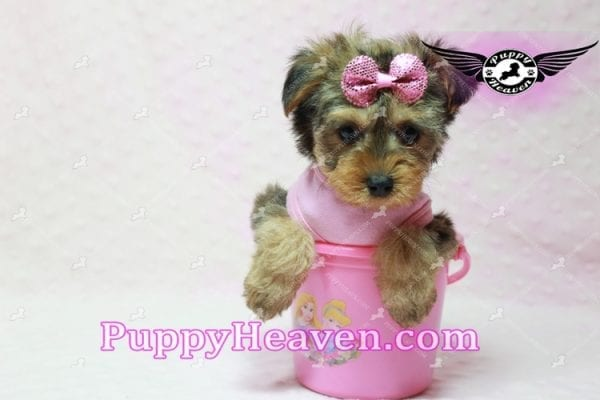 Lovely - Teacup Morkie Puppy -10129