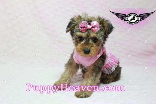 Lovely - Teacup Morkie Puppy -10132