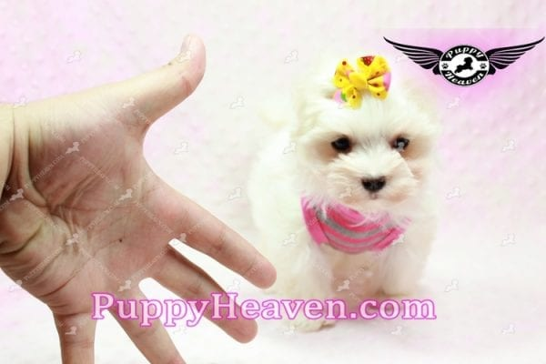 Lovey Dovey - Teacup Maltipoo Puppy found Her Loving Home with Raymond from LA 90019-9570