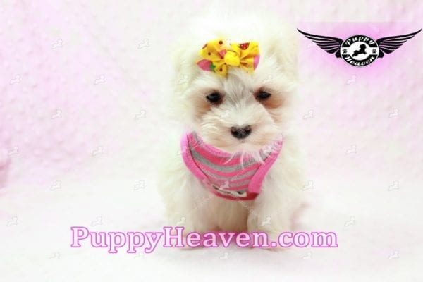 Lovey Dovey - Teacup Maltipoo Puppy found Her Loving Home with Raymond from LA 90019-9575