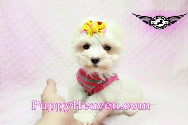 Lovey Dovey - Teacup Maltipoo Puppy found Her Loving Home with Raymond from LA 90019-9574