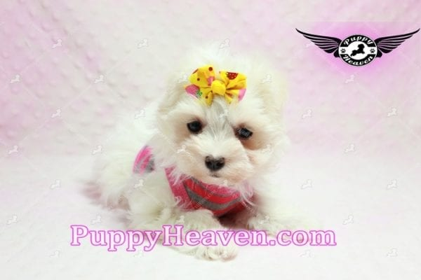 Lovey Dovey - Teacup Maltipoo Puppy found Her Loving Home with Raymond from LA 90019-9569