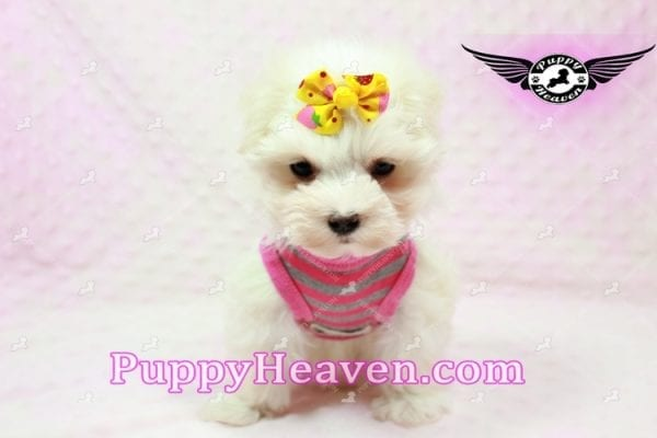 Lovey Dovey - Teacup Maltipoo Puppy found Her Loving Home with Raymond from LA 90019-9571