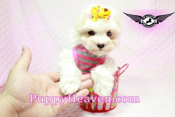 Lovey Dovey - Teacup Maltipoo Puppy found Her Loving Home with Raymond from LA 90019-9567