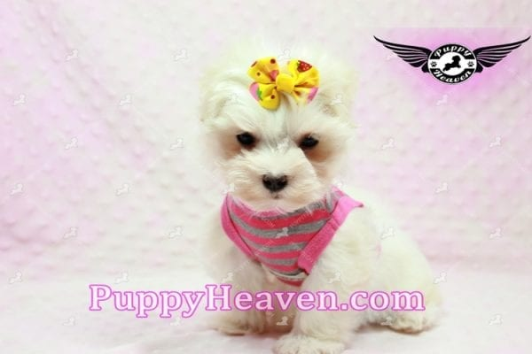 Lovey Dovey - Teacup Maltipoo Puppy found Her Loving Home with Raymond from LA 90019-0