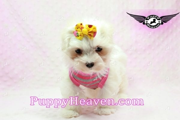 Lovey Dovey - Teacup Maltipoo Puppy found Her Loving Home with Raymond from LA 90019-9576
