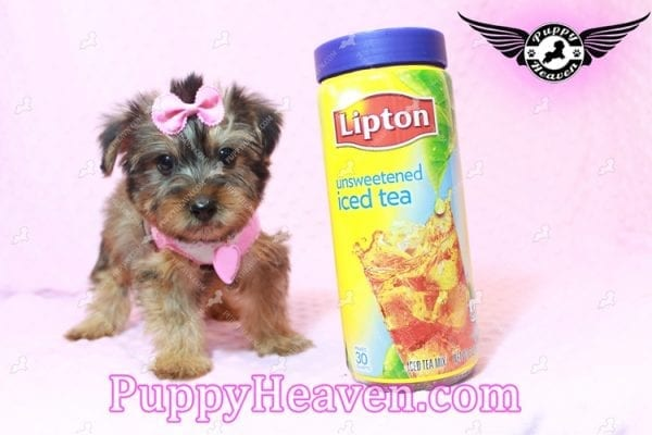 Miley Cyrus - Teacup Morkie Puppy has found a good loving home with Michael from Las Vegas, NV 89135-9661