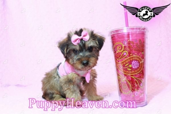 Miley Cyrus - Teacup Morkie Puppy has found a good loving home with Michael from Las Vegas, NV 89135-9667