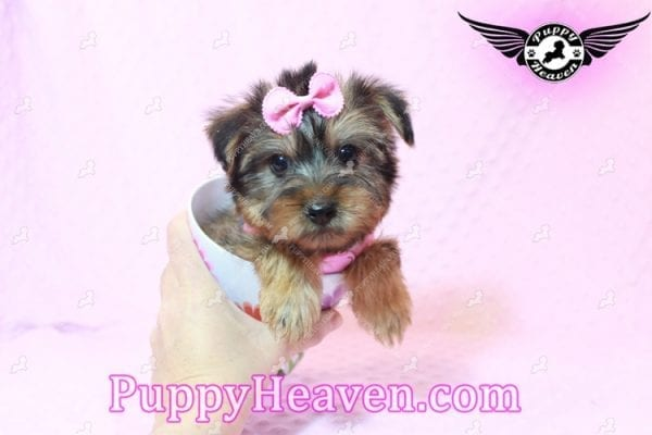 Miley Cyrus - Teacup Morkie Puppy has found a good loving home with Michael from Las Vegas, NV 89135-9660