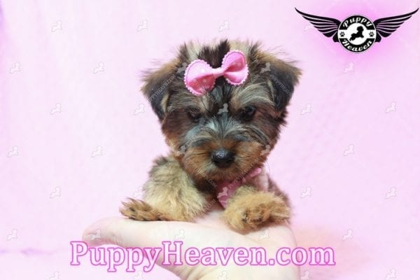 Miley Cyrus - Teacup Morkie Puppy has found a good loving home with Michael from Las Vegas, NV 89135-9662
