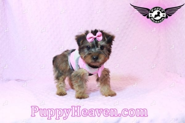 Miley Cyrus - Teacup Morkie Puppy has found a good loving home with Michael from Las Vegas, NV 89135-9665