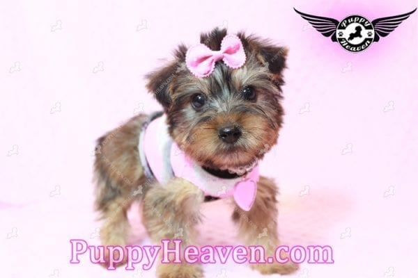 Miley Cyrus - Teacup Morkie Puppy has found a good loving home with Michael from Las Vegas, NV 89135-9663